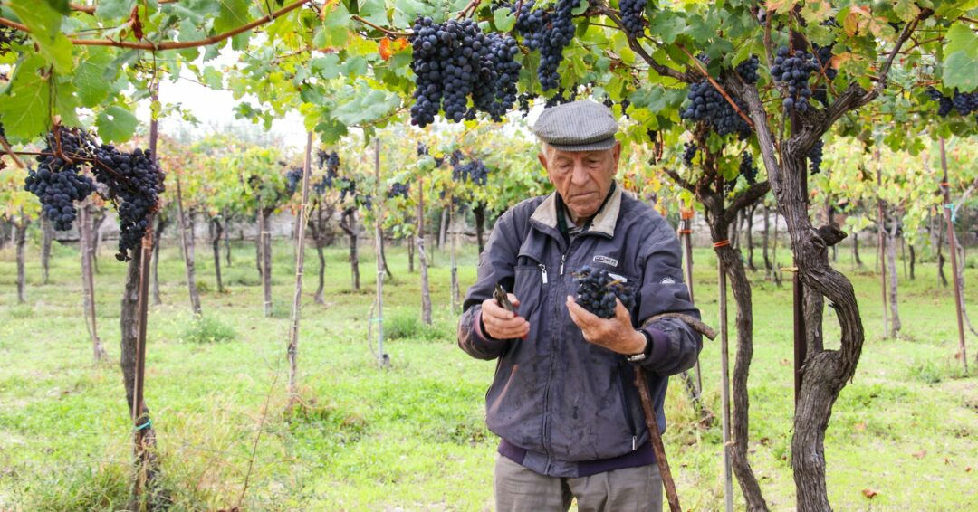grape picking Puglia
